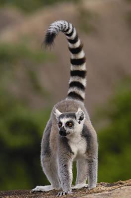 Lemur Tail Photograph - Ring-tailed Lemur Madagascar by Pete Oxford