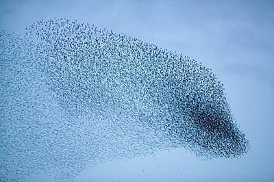 Gathering Photograph - Starlings Flying To Roost by Ashley Cooper