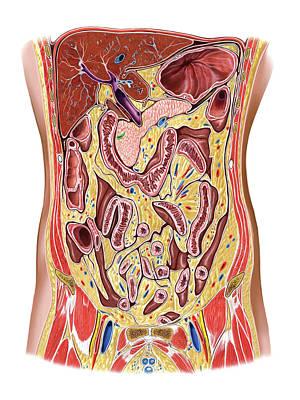 The Abdomen Print by Asklepios Medical Atlas