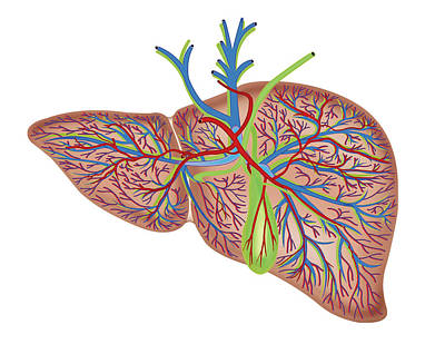 Portal Photograph - The Liver by Asklepios Medical Atlas