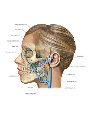 Venous System Of The Head And Neck Print by Asklepios Medical Atlas