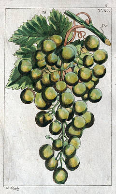 Wine Grapes, Vine, Agriculture, Fruit, Food And Drink Print by English School