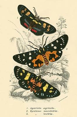 Entomology Painting - Butterflies by English School
