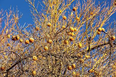 Abandoned Dead And Dying Orange Trees Print by Ashley Cooper