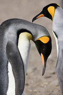 Bonding Photograph - Antarctica, South Georgia, Salisbury by Jaynes Gallery