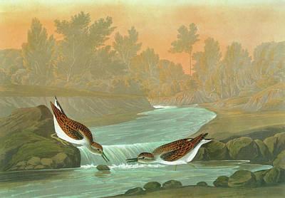 Sandpiper Painting - Audubon Sandpiper by Granger