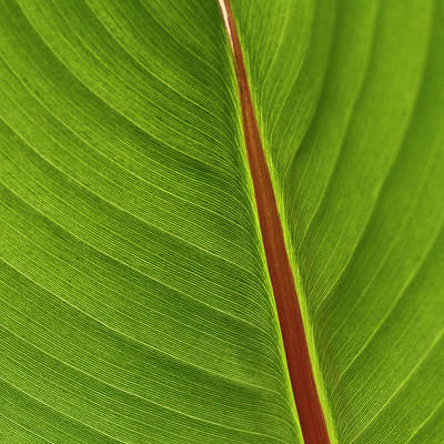 Ornamental Photograph - Banana Leaf by Heiko Koehrer-Wagner