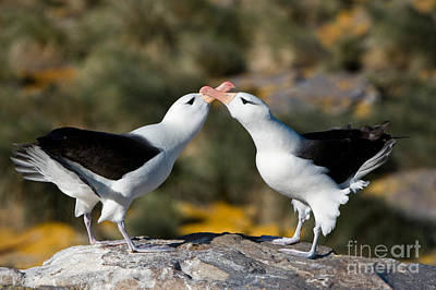 Black-browed Albatross Print by John Shaw
