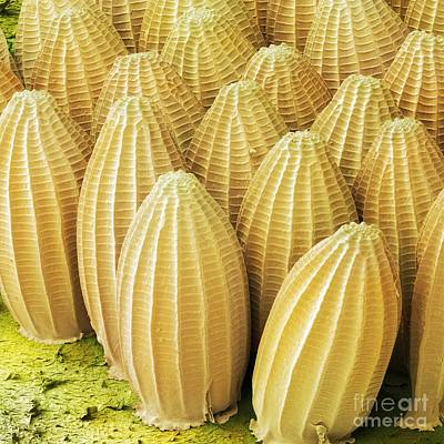 Cabbage White Butterfly Photograph - Cabbage White Butterfly Eggs, Sem by Power and Syred