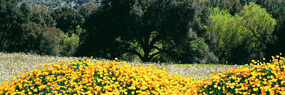 Warner Photograph - California Golden Poppies Eschscholzia by Panoramic Images
