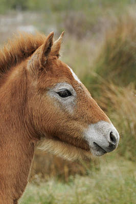 Adam Photograph - Camargue Horse Foal, Southern France by Adam Jones