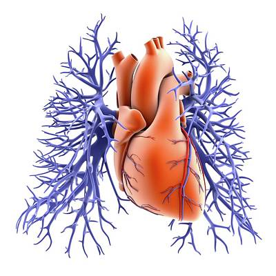 Circulatory System Of Heart And Lungs Print by Alfred Pasieka