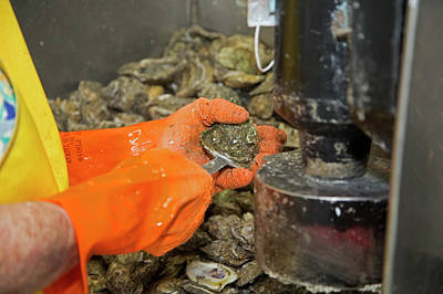 Florida Panhandle Photograph - Commercial Oyster Processing by Jim West