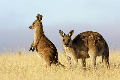 Eastern Grey Kangaroo Or Forester Print by Martin Zwick