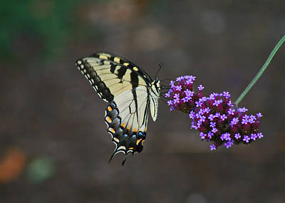 Eastern Tiger Swallowtail Butterfly Print by Karen Adams