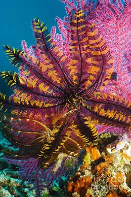 Featherstar On Gorgonian Coral Print by Georgette Douwma