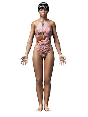 Human Internal Organ Photograph - Female Internal Organs by Sebastian Kaulitzki
