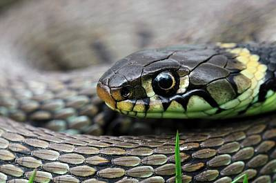 Reptiles Photograph - Grass Snake by Colin Varndell