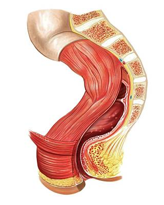 Large Intestine Print by Asklepios Medical Atlas