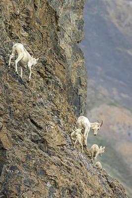 Mountain Goat Photograph - Mountain Goats Along Kongakut River by Tom Norring