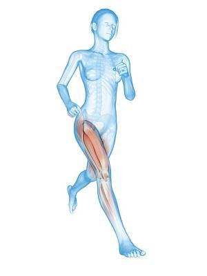 Muscular System Of A Runner Print by Sebastian Kaulitzki