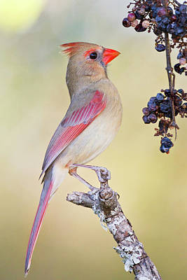 Ditto Photograph - Northern Cardinal (cardinalis Cardinalis by Larry Ditto