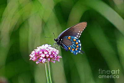Pipevine Swallowtail Butterfly Print by Karen Adams