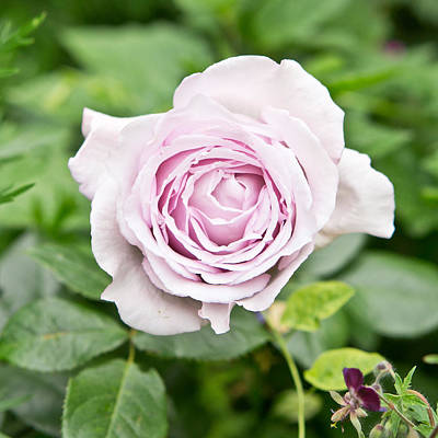 Violet Photograph - Rose by Tom Gowanlock