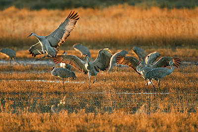 Sandhill Crane (grus Canadensis Print by Larry Ditto