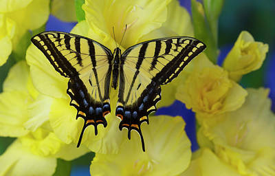 Two Tailed Photograph - Two-tailed Swallowtail Butterfly by Darrell Gulin