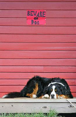 Bernese Mountain Dog Photograph - Usa, Colorado, Breckenridge by Jaynes Gallery