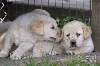 Yellow Labrador Retriever Puppies Print by Linda Freshwaters Arndt