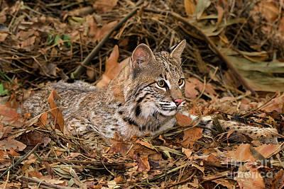 611000006 Bobcat Felis Rufus Wildlife Rescue Print by Dave Welling
