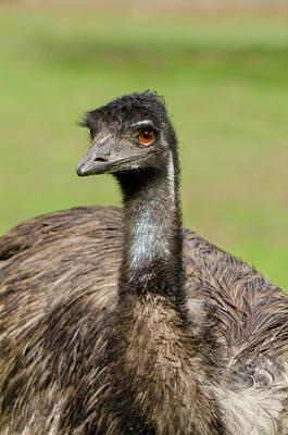 Emu Photograph - Australia, Adelaide by Cindy Miller Hopkins