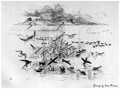 Puffin Drawing - Blackburn Birds, 1895 by Granger