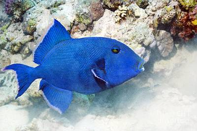 Blue Triggerfish Print by Georgette Douwma