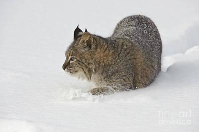 Bobcat Print by John Shaw