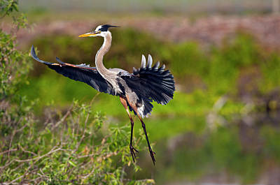Braking Photograph - Florida, Venice, Great Blue Heron by Bernard Friel