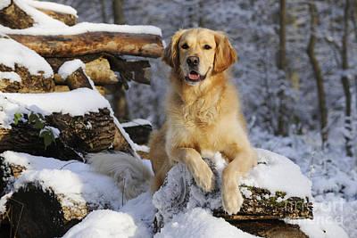Golden Retriever In Snow Print by John Daniels