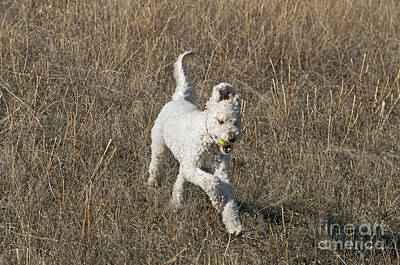 Goldendoodle Running Print by William H. Mullins