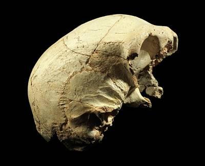 Ancestors Photograph - Hominin Skull From Sima De Los Huesos by Javier Trueba/msf