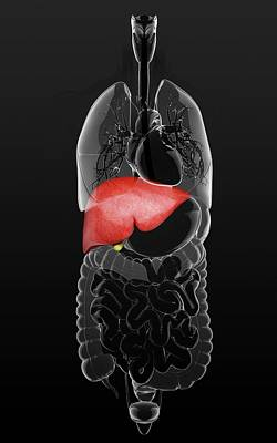 Livers Photograph - Human Liver And Gall Bladder by Pixologicstudio