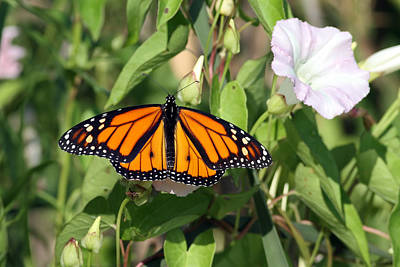 Monarch Butterfly Original by Jim Nelson
