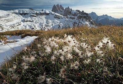 Dolomite Photograph - Mountain Avens (dryas Octopetala) by Bob Gibbons