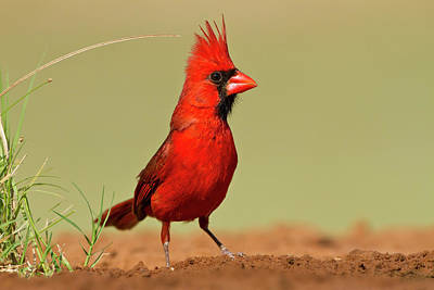 Male Northern Cardinal Photograph - Northern Cardinal (cardinalis Cardinalis by Larry Ditto