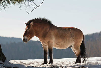 Przewalski's Horse Or Takhi (equus Print by Martin Zwick