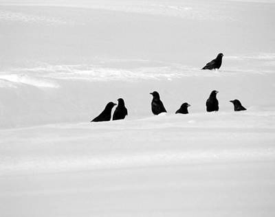 7 Snow Crows Print by Gothicolors Donna Snyder