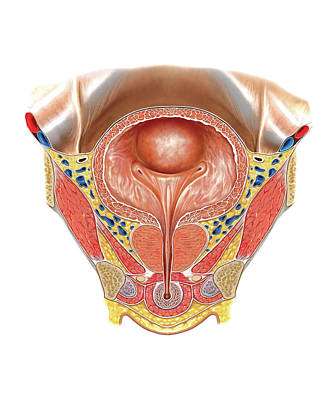 Urinary Bladder And Urethra Print by Asklepios Medical Atlas