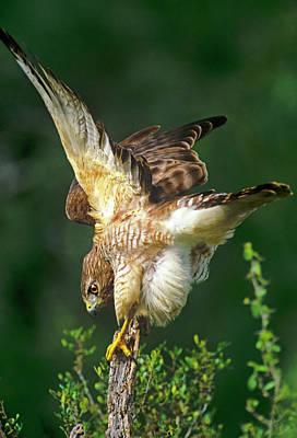Red-shouldered Hawk Photograph - Usa, Texas, Rio Grande Valley, Mcallen by Jaynes Gallery