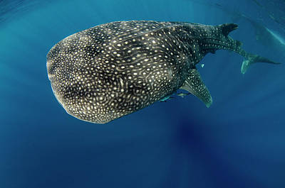 Whale Shark, Cenderawasih Bay, West Print by Pete Oxford